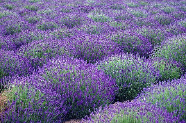 Lavender: Fields Galleries, Flowers Fields, Lavender Flowers, Lavenderflow Fields, Lavender Flowing Fields, Lavender Fields France, Purple Lavender Blue, La Lavande, Flowers Lavender
