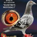 """054 - B17-6025598 """"ELEKTRO'S MUSTANG I"""" ♀   De Duif"""