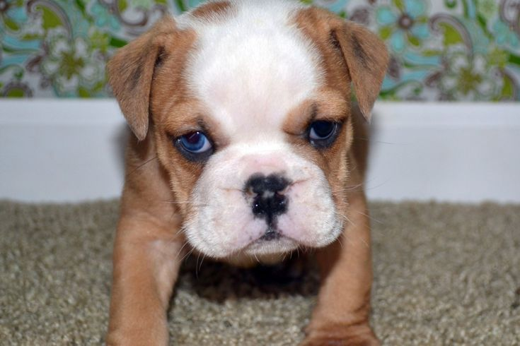 american bulldog puppies | View Previous English & American Bulldogs Puppies for Sale