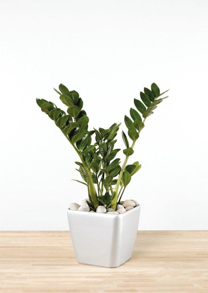 Pflegeleichte Zimmerpflanzen Die Zamie Bringt Gluck Ins Haus
