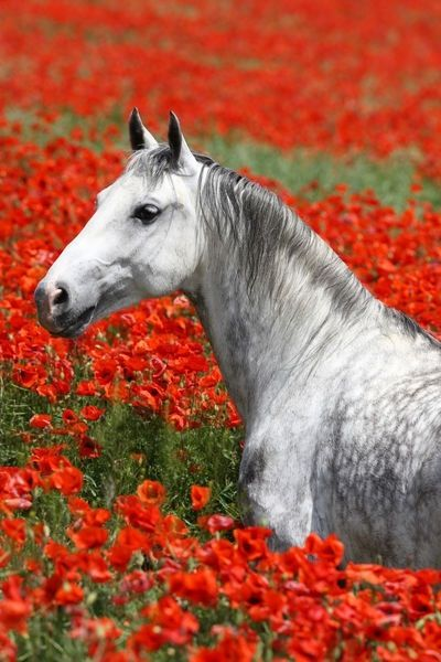 Love this photo with the dapple horse in a field of red flowers.