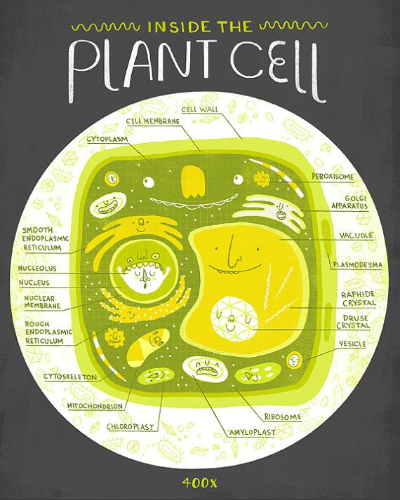 Inside The Plant Cell Anatomy Poster by Rachelignotofsky on Etsy, $17.00