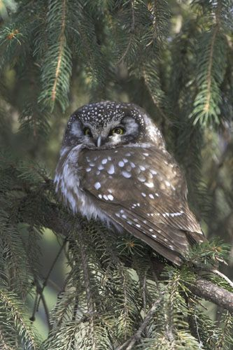 Boreal Owl In Central Park, NY