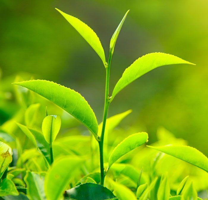 #Groene #thee is op dit moment heel populair bij ons. En dat is niet voor niets. Groene thee heeft een heilzame werking.