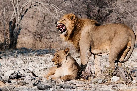 Czas lwich godów - zdjęcie Kaśka Sikora #etoshanationalpark      #afryka #lwy #safariafrica     #safari  #Sikora #Sikorafotograf #FotografWarszawa #KaśkaSikora #KatarzynaSikora #wildlife   #wildlifephotography