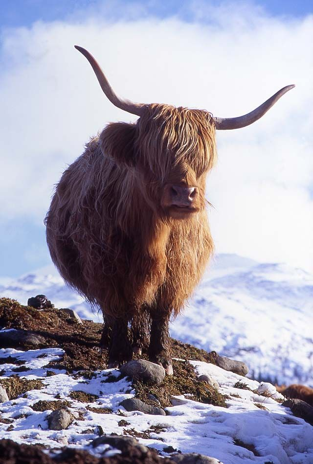 Highland Cow  -  in the Scottish Highlands by Peter Stubbs.