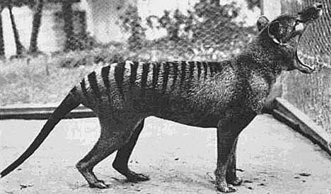 Benjamin, the last known thylacine(Thylacinus cynocephalus) in captivity at the Hobart Zoo in Australia (1933). Like the kangaroo, thylacine's had pouches and inhabited the island of Tasmania and parts of mainland Australia.Pouches on the males served as protection for their genitals.Excessive hunting by bounties and disease are a blame for their extinction.