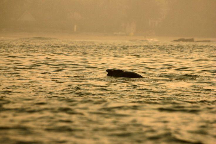 https://flic.kr/p/FNdy1r | Shoreline | Dolphins off the coast of Goa