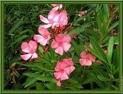 Photos les plus commentées Laurier Rose Nerium Oleander (nerium oleander) wallpaper nature