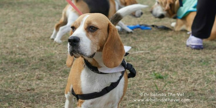 RSCPA Million Paws Walk in Sydney 2014 - lots of gorgeous dogs out and about! #Beagle #RSPCA #MPW