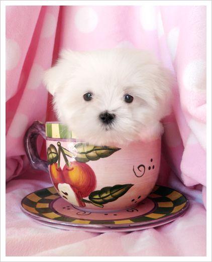 tea puppy