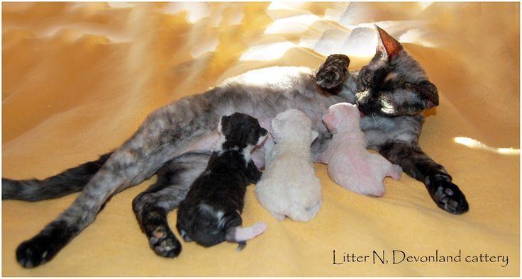 Питомник девон рексов DEVONLAND: Ньютону (котенок девон-рекс) ищем семью