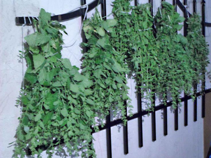 Suszenie ziół z pozoru prosta i banalna czynność,jednak trzeba wiedzieć jak to robić.Tylko odpowiednio wysuszone zioła zachowują walory smakowe i lecznicze.