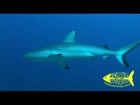 SHARKS IN FEEDING FRENZY - SUVADIVA - SOUTH MALDIVES - Nautica Treviso .mp4