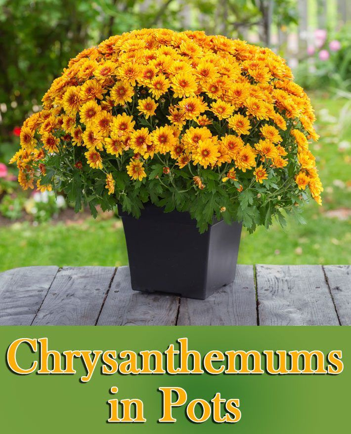 How To Grow Chrysanthemums In Pots Gardening For Beginners Patio Plants Organic Gardening Tips