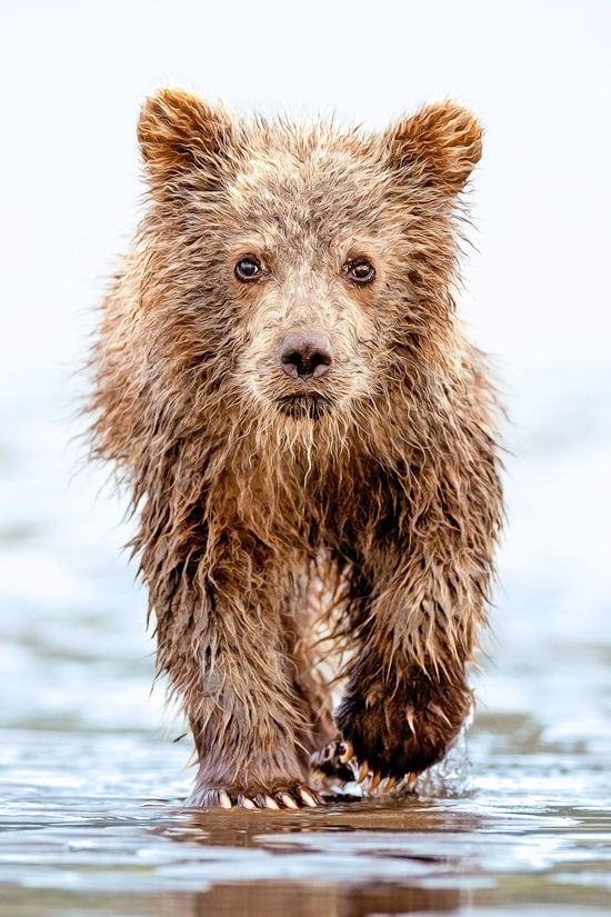 Bear cub. Photo: Lisa Aikenhead.