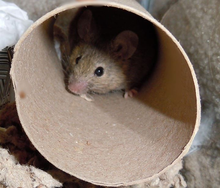 1000+ images about Mousy Things on Pinterest | Pets, Dwarf ...