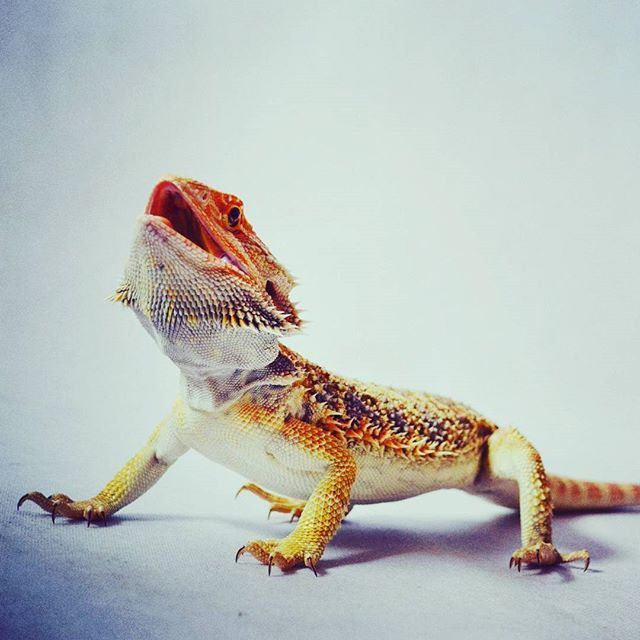 What did you think about this? #pogonavitticeps #pogona #beardeddragon #reptile #dragon #beardie #beardies #pet #animal #instagood #photooftheday #nice #dinosaur #swag #animals #desert #australia #czech #thorny #walking #hey #beard #justinbieber #fff #uff #follow4follow #sfs #romance #light #giant