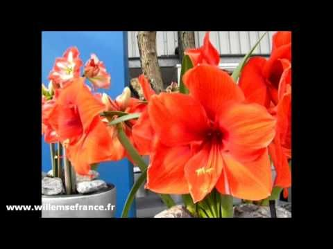 Les #amaryllis naines de Willemse sont spectaculaires.