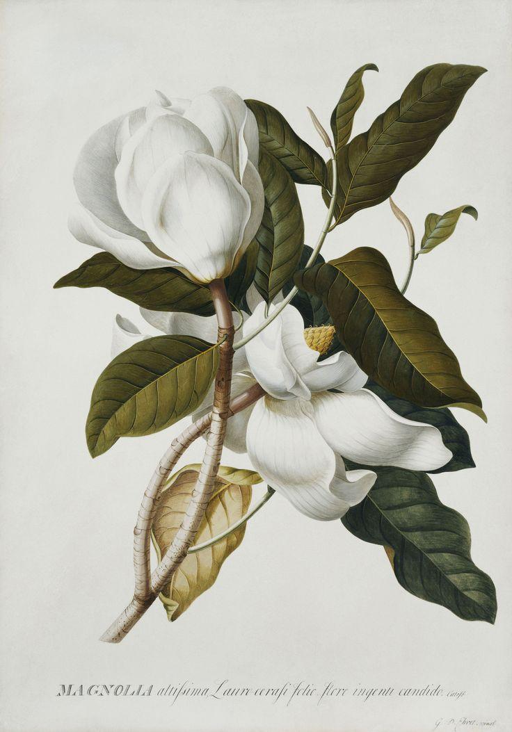 Magnolia altissima, by Georg Dionysius Ehret. Pencil, watercolour and bodycolour on vellum; 36.8 x 52.2 cm