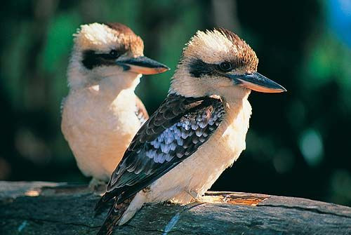 Our home (Kookaburra Dell) is named after these chaps - the Laughing Kookaburra. They sound like monkeys; guests from the USA are usually convinced we really do have monkeys until they get woken up by one right outside their window at dawn. We have a riot* of them in our yard; they rule here, though they steered clear of the nesting Pacific bazas. Kookas sometimes land next to you if you sit still. *Riot is the very apt collective noun.
