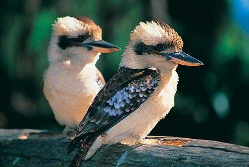 kookaburra - being me - wonder if my totem is a kookaburra as I laugh like one