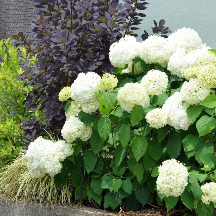 咲き進むと色が変わる 育てやすい人気のアジサイ アナベル Lovegreen ラブグリーン アジサイ 花壇 おしゃれ 鉢植え