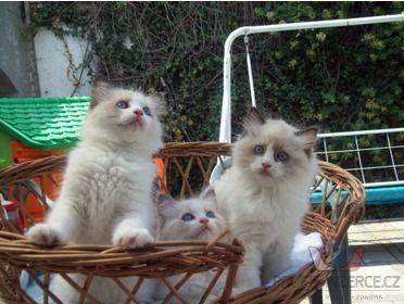 Ragdoll kotě s PP [hw.jpg]