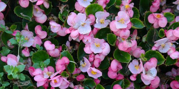 Begonia altan