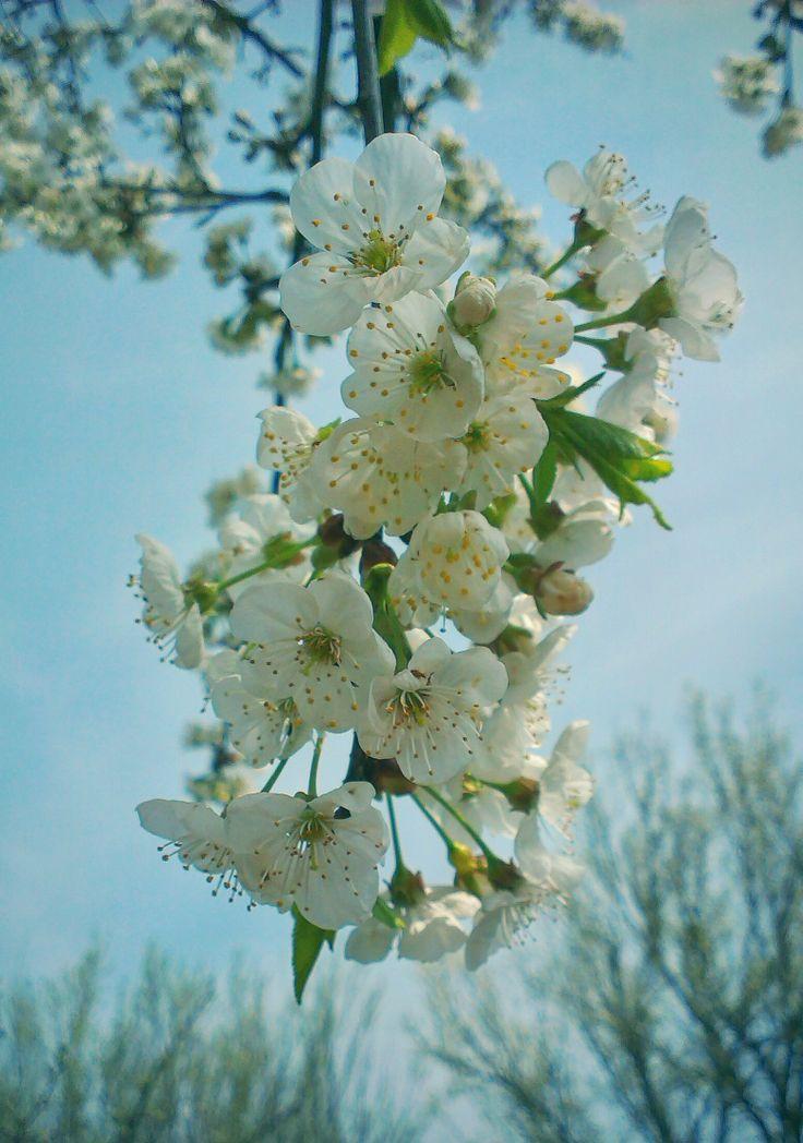 #cherryflowers