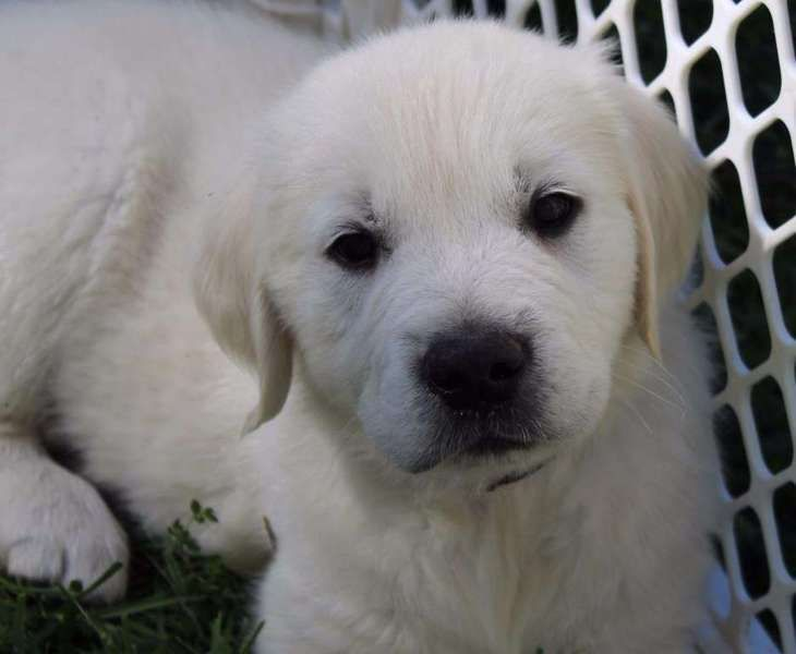 khlchsc adorable male and female Golden retriever pupps ready to go call or text x608 x371 x9672 Vet checked.