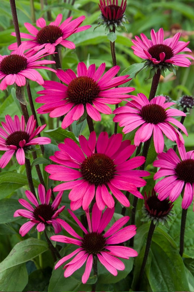 Echinacea 'Summer Cloud' 2/8/15 These just made me smile.