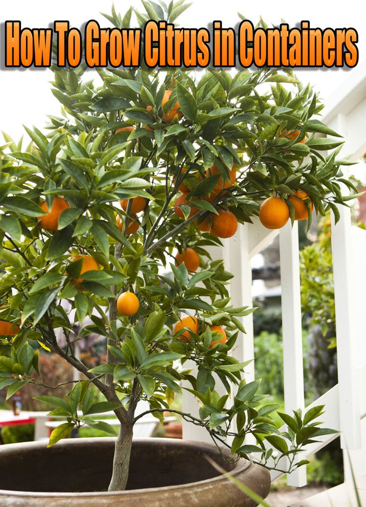 How To Grow Citrus in Containers. Any type of citrus tree can grow in a container, at least for a while. However, kinds such as lemon and grapefruit... #garden #gardening #gardeningContainers
