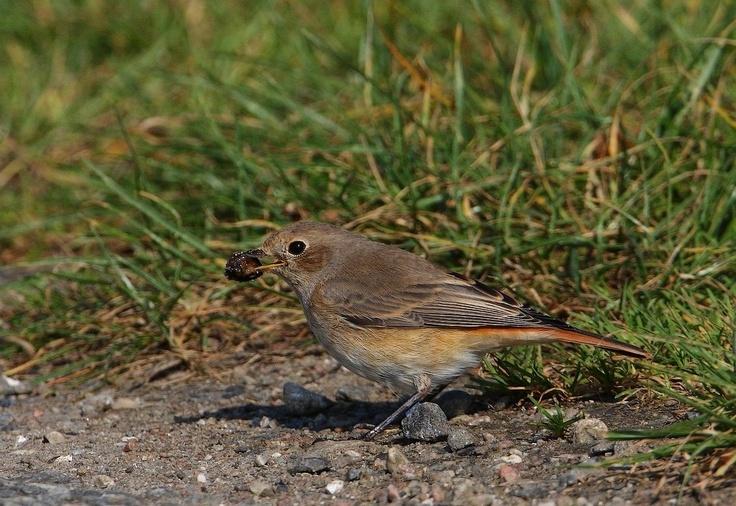 Rødstjert  / common redstart (Phoenicurus phoenicurus)  female