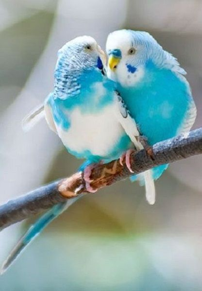 "In México we call them ""Periquitos de Amor"" (Love Little Parrots). Beautiful turquoise pair."