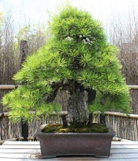 JPB: bonsai collection