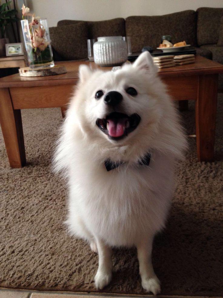 Gentleman Mailo Japanse Spitz/spits #Dog #Christmass