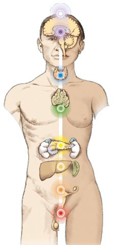 The Chakra System are connected and working trough the Endocrine glands in the human body.