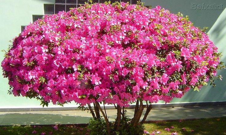 azaleia- usada em vasos ou como cerca-viva, maciços, corredores. Resistente, atinge 1-2m altura, podar após a floração.