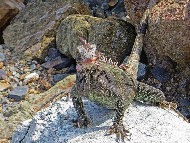 Iguana St Thomas, USVI St thomas usvi, Carribean