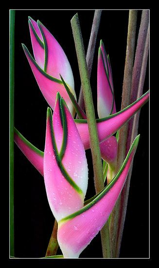 """Heliconia  'Eden Pink"""" - great idea for a more contemporary pattern - not like the usual floral - more architectural"""