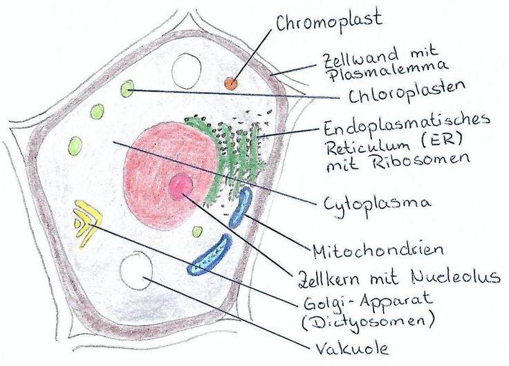 Pin Von Doreen Schulz Auf Pflanzen In 2020 Biologie Biologie Unterrichten Tierische Zelle