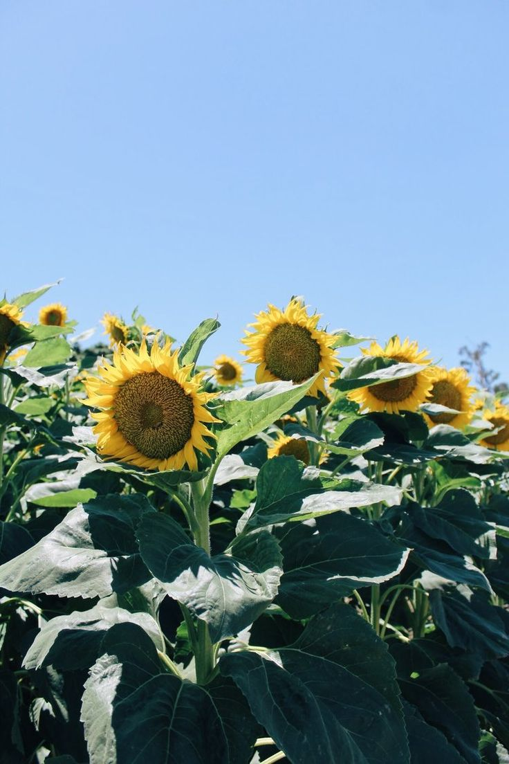 visiting the sunflower fields outside of sacramento is on my summer list of things to doa long with ice cream tasting, movies at the Crest and the drive-in, plus going to brunch any chance I get! | tinted-green.com