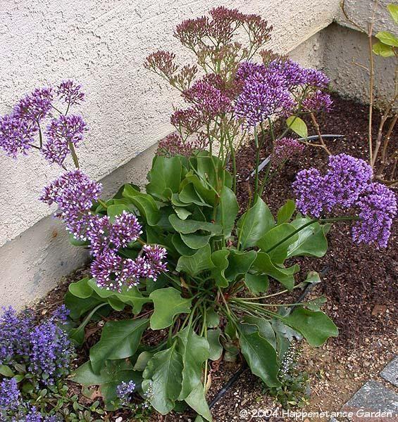 Limonium perezi_ Sea Lavender
