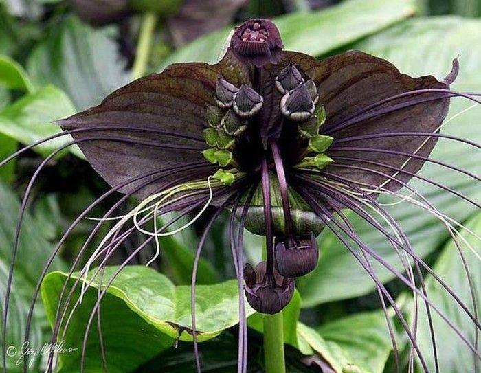 """flores exóticasA Flor Gato Preto (Tacca chantrieri) é uma das poucas flores no mundo que apresentam coloração negra. São de grandes proporções - as maiores chegam a 30 centímetros e possuem longos """"bigodes"""", daí o seu nome. É nativa das regiões tropicais do Sudoeste da Ásia.-"""
