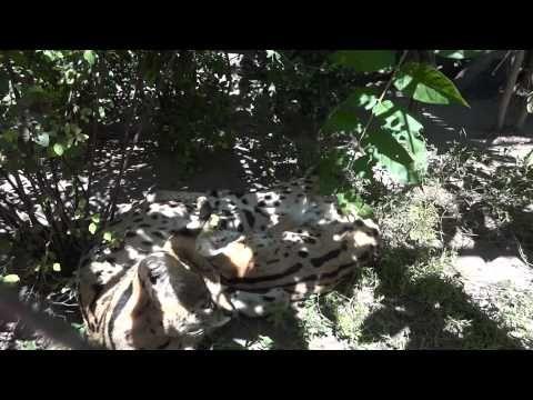 Serval / Felis serval / Сервал - 0046