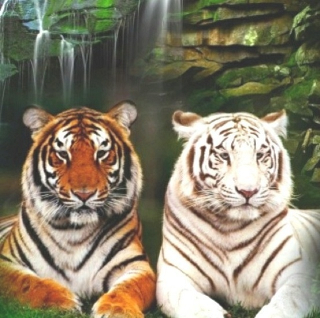1000+ images about Tigers on Pinterest | Dolphins ...