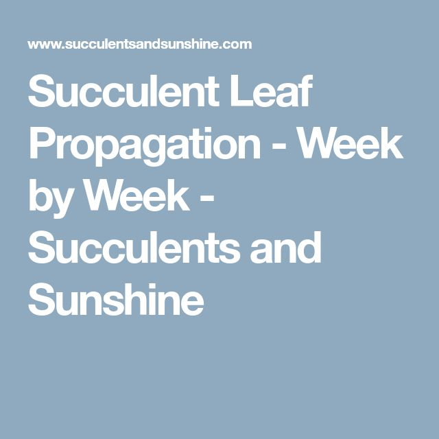 Succulent Leaf Propagation - Week by Week - Succulents and Sunshine