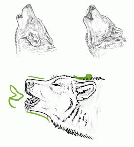 52 best wolf anatomy images on pinterest animal anatomy animal how to draw howling wolves step 1 lets start with some tips to draw ccuart Image collections