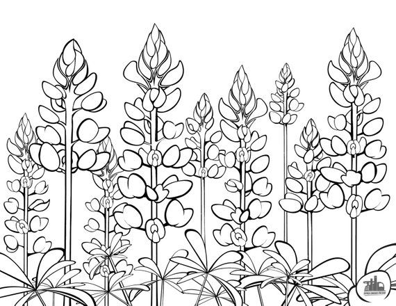 Texas Bluebonnets Coloring Sheet Etsy In 2021 Space Coloring Pages Blue Bonnets Flower Drawing